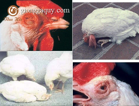 BỆNH NEWCASTLE DISEASE (bệnh gà rù )