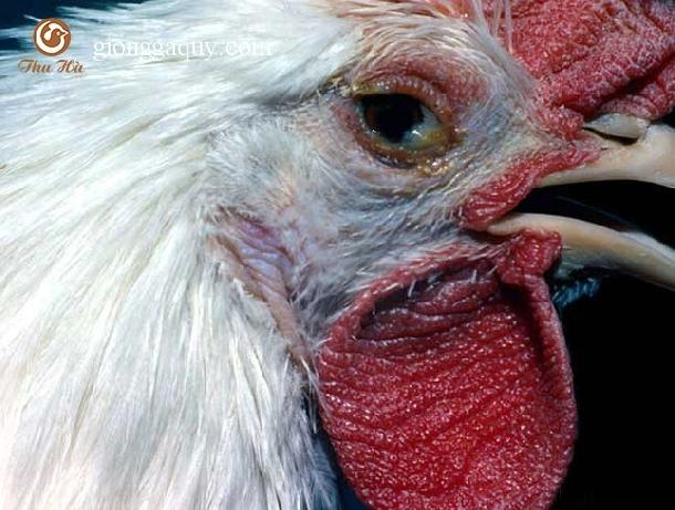 phòng và trị bệnh khò khè ở gà