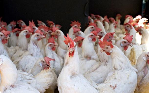 Bệnh mổ cắn (canibalizm) là thói quen có hại của gà