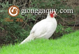 Chim trĩ trắng