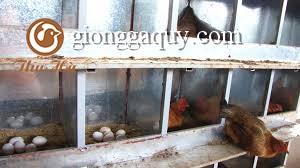 kỹ thuật nuôi gà ta đẻ trứng.
