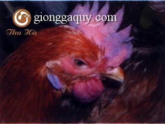 Điều trị và phòng bệnh phù đầu ở gà