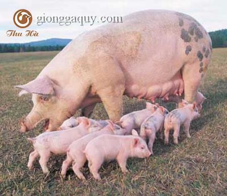 Bệnh giả dại ở lợn