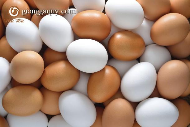 Để gà đẻ trứng đều