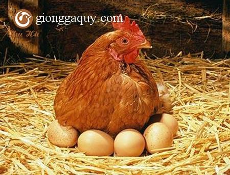 Hội chứng giảm đẻ  -EDS'76 ở gà?