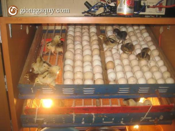 Những vấn đề xảy ra trong quá trình ấp trứng gà