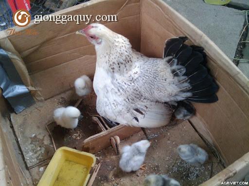 Thụ tinh cho gà mái giống