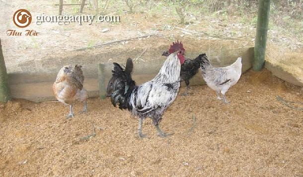 Cung cấp gà H ' Mông giống thuần chủng