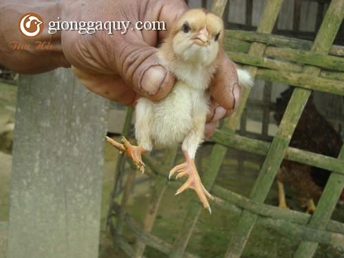 Cung cấp giống gà chín cựa thuần chủng
