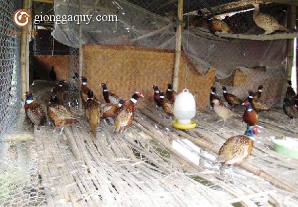 kỹ thuật làm chuồng nuôi chim trĩ