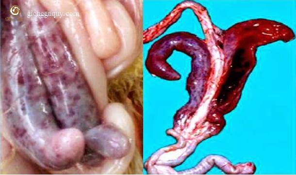Bệnh cầu trùng : (Coccidiosis)