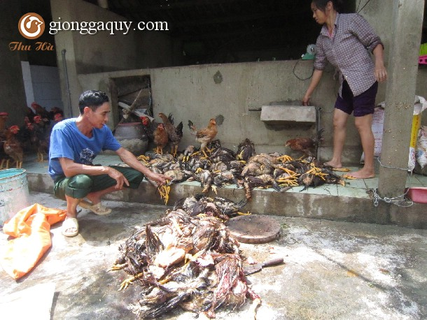 Phòng bệnh cho gà trong mùa lũ