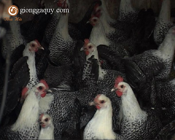 Cung cấp gà siêu trứng ai cập giống
