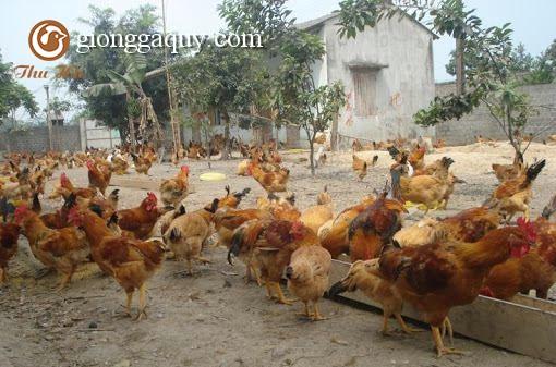 Kỹ thuật chăn nuôi gà ri lai