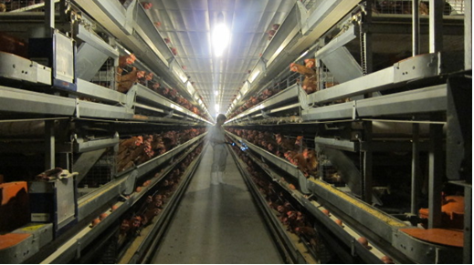 Kỹ thuật chăn nuôi gà thương phẩm giống thịt