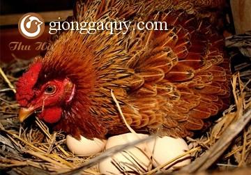 Để gà đẻ tốt mùa nóng