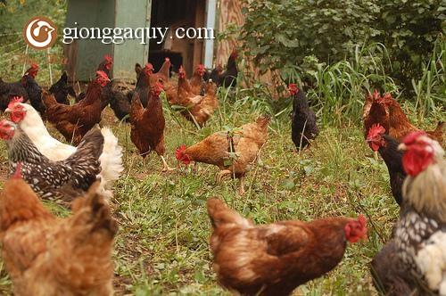 Cách nuôi gà chăn thả bán được giá