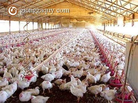 Hướng dẫn nuôi gà giò siêu thịt