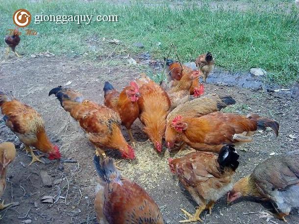 Kỹ thuật nuôi gà sinh sản siêu thịt