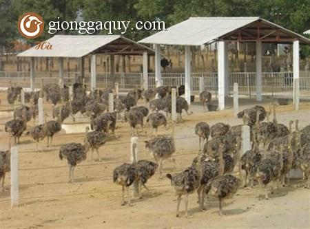 Chăn nuôi đà điểu Châu Phi