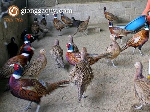 Vệ sinh chuồng trại và phòng bệnh cho chim trĩ