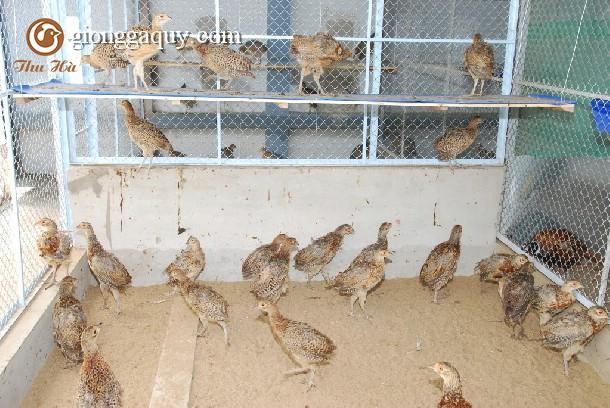 Hiểu 12 tập tính chim trĩ để nuôi tốt