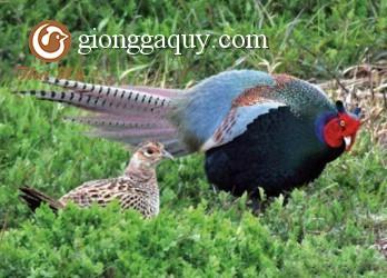 Sự sinh trưởng của chim trĩ
