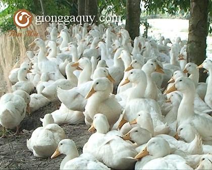 Một số giống vịt nuôi nhiều tại Việt Nam