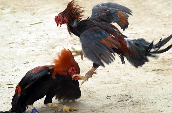 Chọn gà nòi qua thế đá