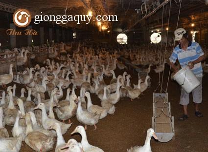 Yêu cầu chuồng trại nuôi vịt theo hình thức nuôi nhốt