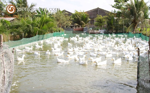 Yêu cầu ao hồ nuôi vịt theo hình thức nuôi nhốt