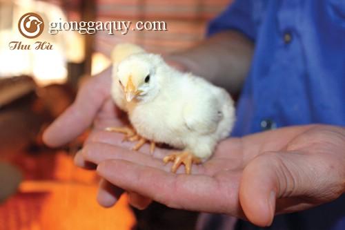 Giống gà quý hơn gà Đông Tảo ở Việt Nam