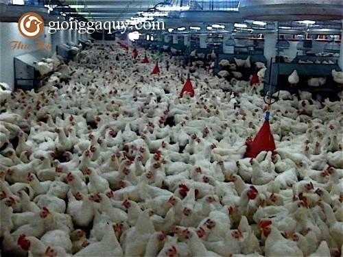 Các tính trạng sinh trưởng của gà thịt có thể cải thiện hơn nữa
