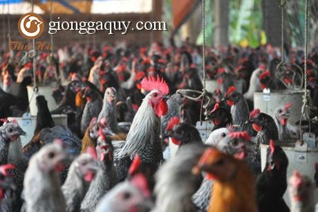 Thức ăn chăn nuôi cho gà sinh sản