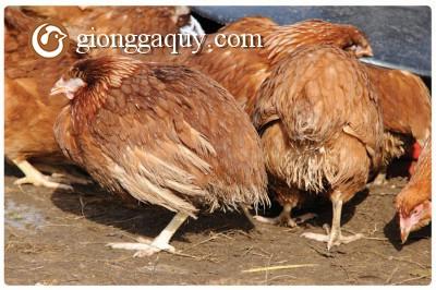 Biểu hiện thiếu dinh dưỡng ở gà