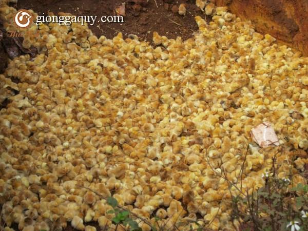 Hướng dẫn cách chọn gà giống tốt nhất