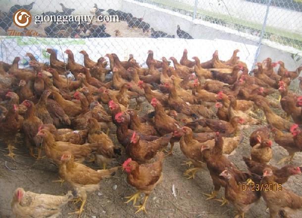 Lợn hơi xuống giá, gà lông màu tăng dần, người nuôi giữ đàn lãi