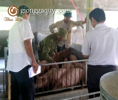Tăng cường công tác tiêm vắc xin phòng bệnh cho gia súc vụ thu đông
