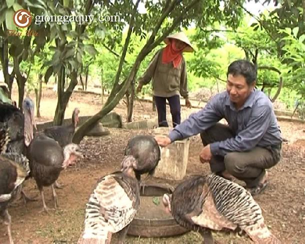 Kỹ thuật chăn nuôi gà tây Huba thịt