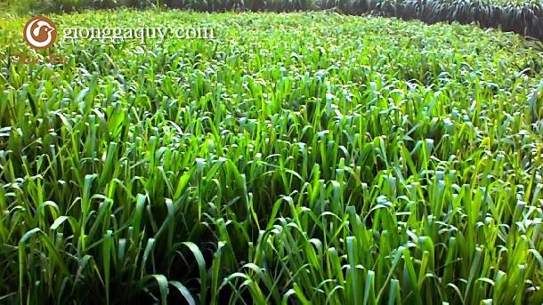 Kỹ thuật trồng một số loại cây làm thức ăn cho gia súc