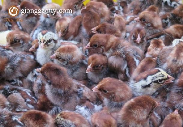 Mô hình trang trại nuôi gà siêu trứng hiệu quả cao
