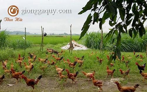 Mô hình làm giàu từ nuôi gà chạy bộ