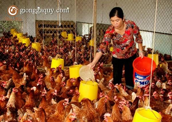 Mô hình chăn nuôi gà bán công nghiệp trên đệm lót sinh học