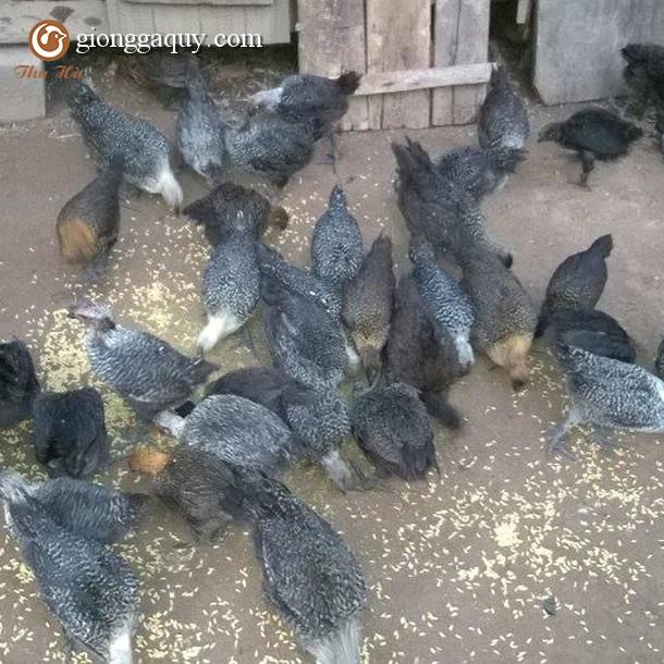Bán gà ác đen giống