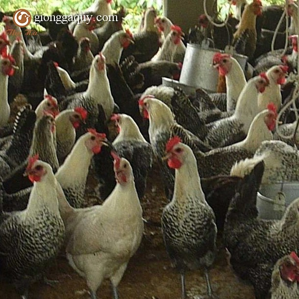 Bán gà ai cập lông vằn đen giống