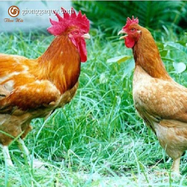 Bán gà tam hoàng giống