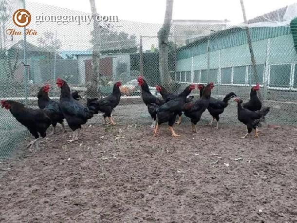 Bán gà lai chọi đen giống