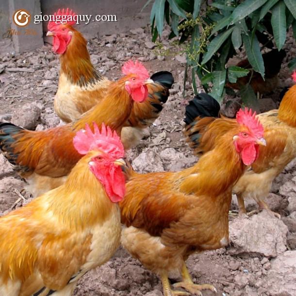 Bán gà lương phượng giống