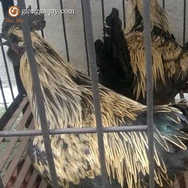Bán gà H' Mông trống